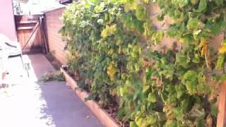 Composting green bean plants & saving seeds!!
