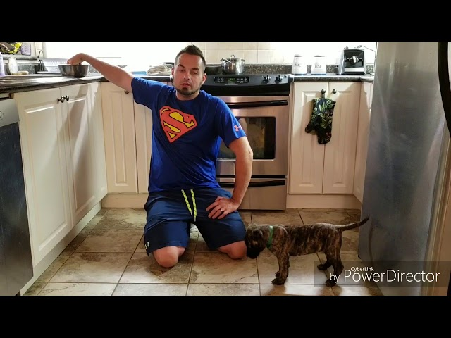 How to teach a Presa puppy Sit, Stand & Down - Shield K9