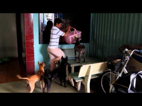 Phu Quoc Ridgeback dog - cho phu quoc