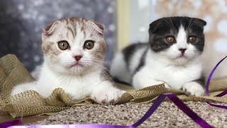 КОТЯТА ВЫРОСЛИ! Шотландские котята от 0 до 2 месяцев😻Kittens' growth from 0 till 2 months old😻😻😻