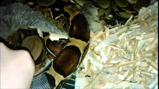 Boa constrictor shedding - red tail boa Zmile