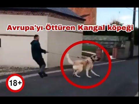 Avrupa'yı Öttüren Kangal köpeği