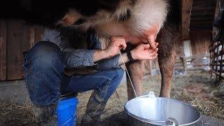 Mastitis Prevention for a New Milk Cow (Delicious)