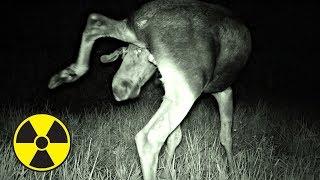 Видео ✅ Что сняла скрытая камера ночью в Припяти? Волки напали на нас в Чернобыльской Зоне?