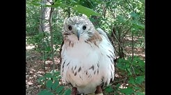 Feyd the Red Tailed Hawk Rescued from a pine tree