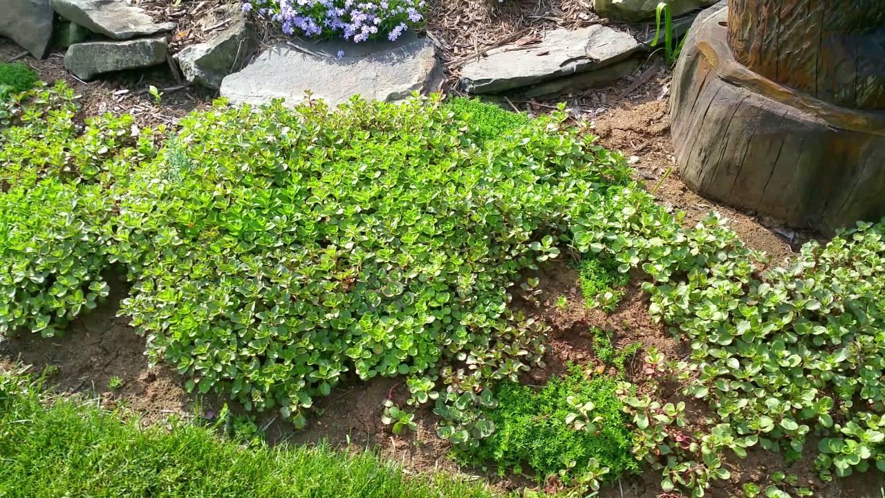 sedum ground cover, Natural flower
