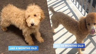 Standard Poodle Growth Over 6 Months