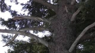 万座温泉 針葉樹林スノーシュー トウヒは右巻き左巻き?