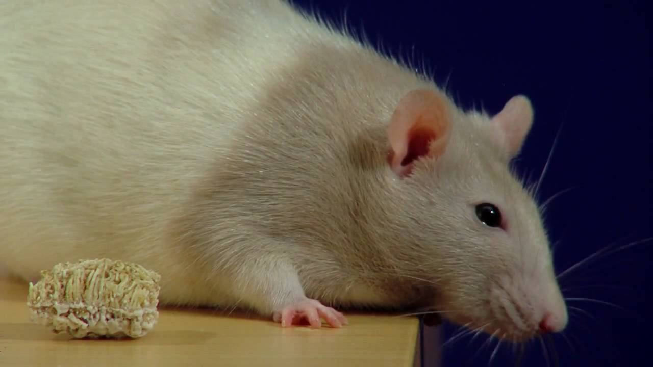 Pet rat swelling around asshole — 7