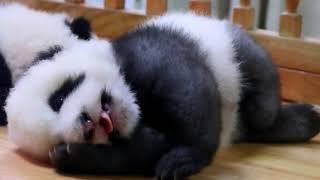 Grey panda cub Cheng Lang So Sleepy