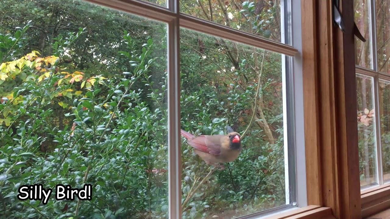 Bird Hits my Window Every Day - Female Cardinal Attacking my Window