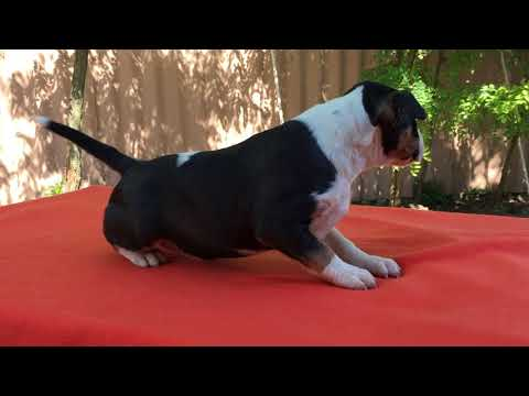 Miniature Bull Terrier Puppy for sale