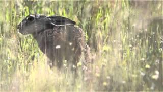 w trawie, na łące buszują zające - zając / hare /  lepus capensis