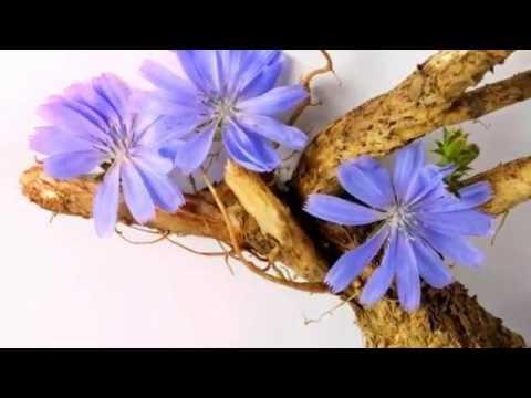 Цикорий – польза корня, показания к применению, вред