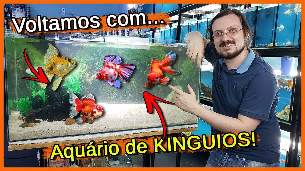 Montei um Aquário de 1 Metro de KINGUIOS!  - Aquarismo Entre Amigos
