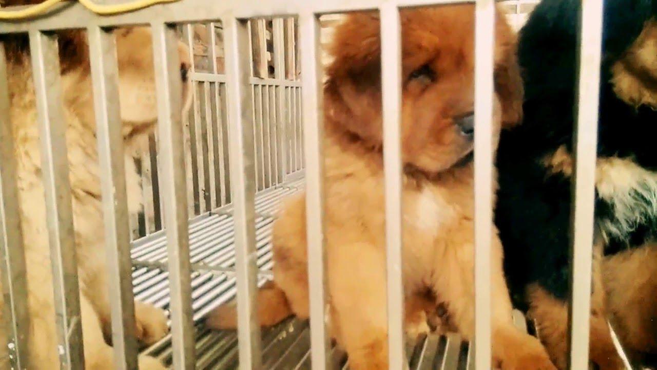 Bán chó ngao tây tạng thuần chủng 0984.108983