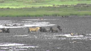 Wildebeests vs. lioness - Lake Masek