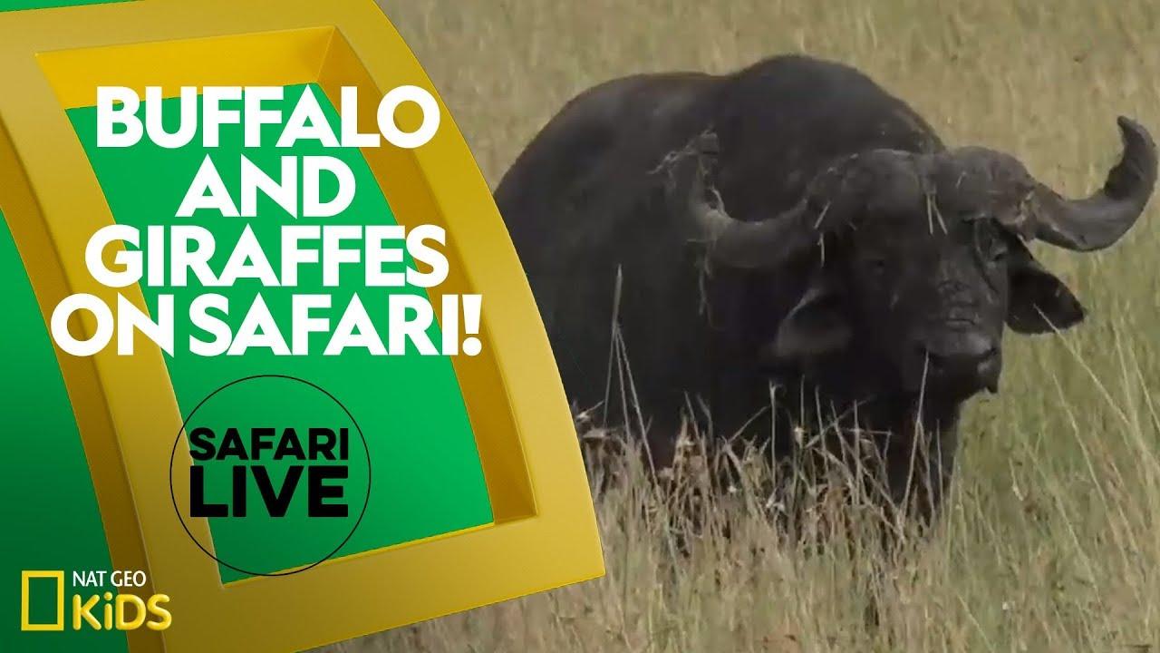 Buffalo and Giraffes on Safari! | Safari Live