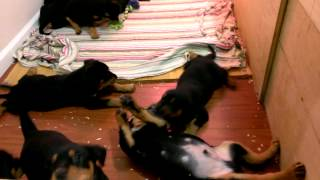 Potty Trained  6 week old German Rottweilers