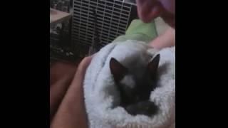 канадский сфинкс после ванной, котёнок, милота, няшка, ржака