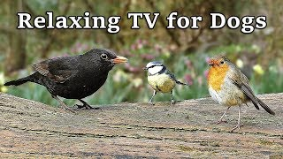 TV for Dogs : Relaxing Ambient Dog TV - Birds in Springtime