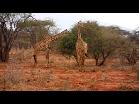 Giraffen Paar frisst an Baum - Safari in Kenia Ngutuni Wildlife Conservancy Tsavo East Mombasa Lodge