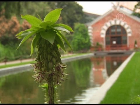 Клопогон: характеристика, сорта, посадка и уход за растением