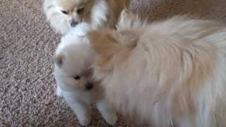 Princess And The Her Pomeranian Puppies