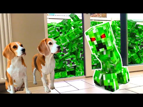Minecraft CREEPER in REAL LIFE *HELP* : Funny Dogs Louie and Marie