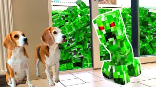 Dogs vs Creeper in Real Life Prank : Funny Dogs Louie & Marie