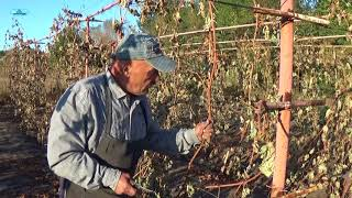 видео Виноград. Полезные свойства - ТОП-11, польза и вред
