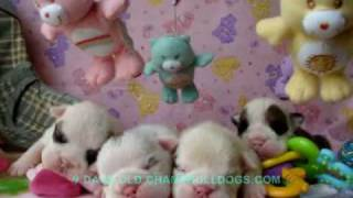 English Bulldog Breeders New Born Puppies