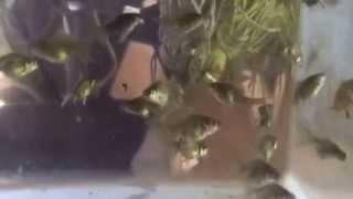 Ryukin Veiltail Goldfish