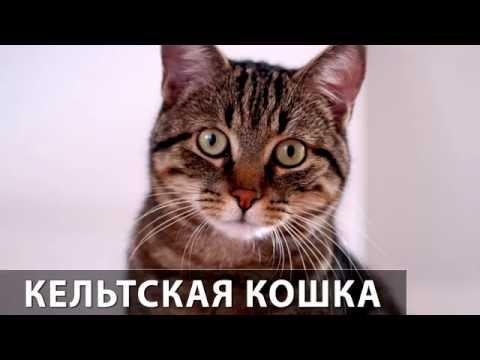 Порода кошек. Кельтская кошка. Европейская короткошерстная.Целеустремленная кошка.