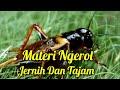 Masteran Jangkrik Full Jeda  Mp3 - Mp4 Download