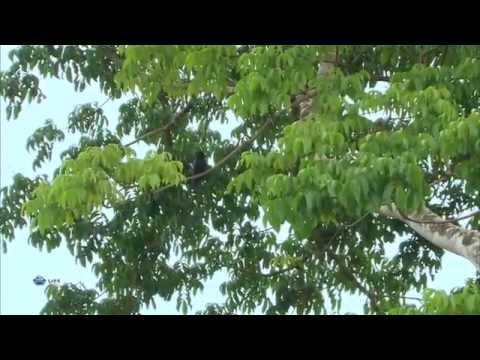 Дикая природа. Искусные охотники в небе: Птицы Калимантана 1080 HD