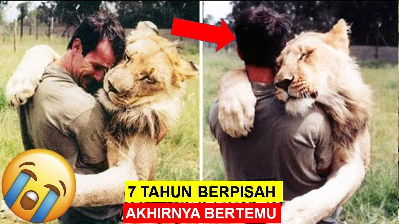 Mengharukan, Sudah 7 Tahun Berpisah! Singa Ini Masih Ingat Tuannya!... Akhirnya Bertemu Lagi