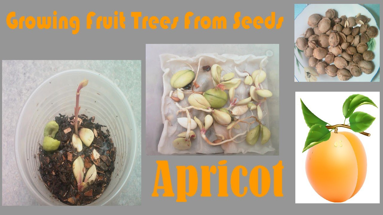 Growing Fruit Trees From Seeds Apricot