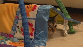 Bengal Cat Rocket Playing Under Baby Blanket Linus Cat Tips