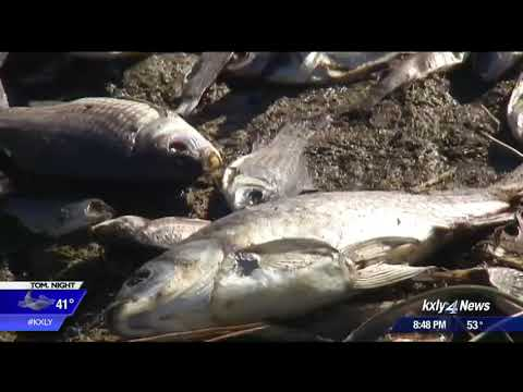 Thousands of fish rotting after West Medical Lake fish kill