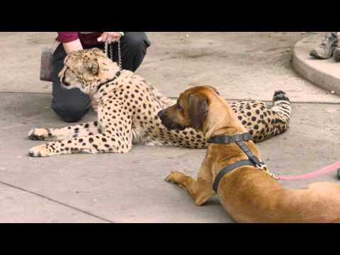 Cheetah Run with Ruuxa @ San Diego Zoo Safari Park