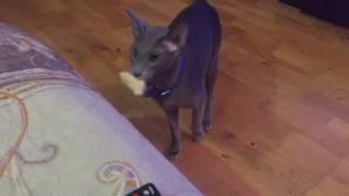 Ориентальная кошка играет, как собака