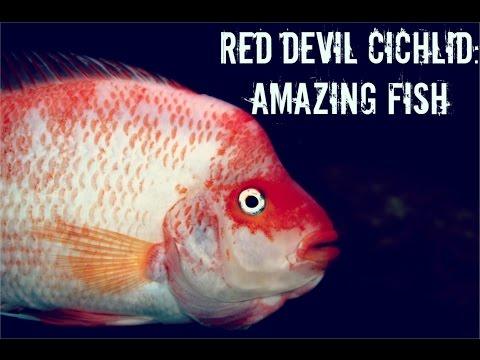 Red Devil: Amazing Fish