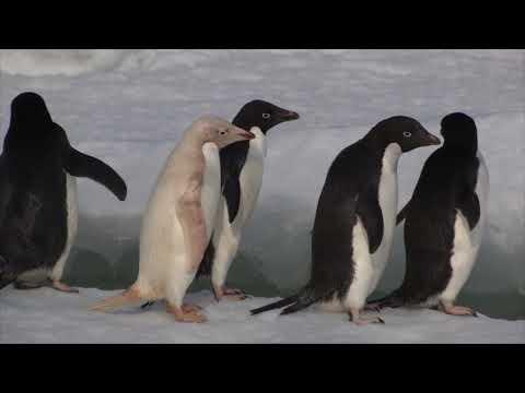 Adelie Penguins in Antarctica (2014)