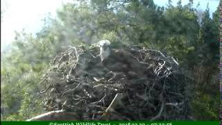First osprey on the nest, LF15 Lassie? - ©Scottish Wildlife Trust