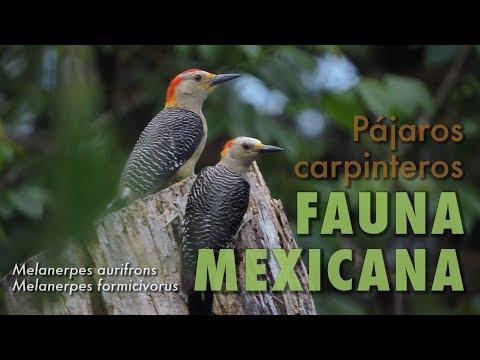 P�jaros Carpinteros | Fauna Mexicana