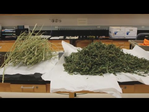 Houston's crime lab can now differentiate between hemp and marijuana