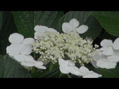 熊谷能護寺の紫陽花が咲いた 3分