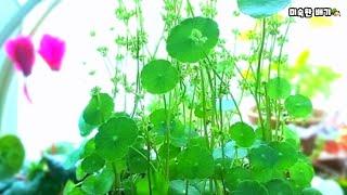 워터코인, 물배추 수경재배, 수생식물, 여름식물