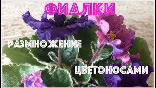 ФИАЛКИ. Размножение цветоносами.